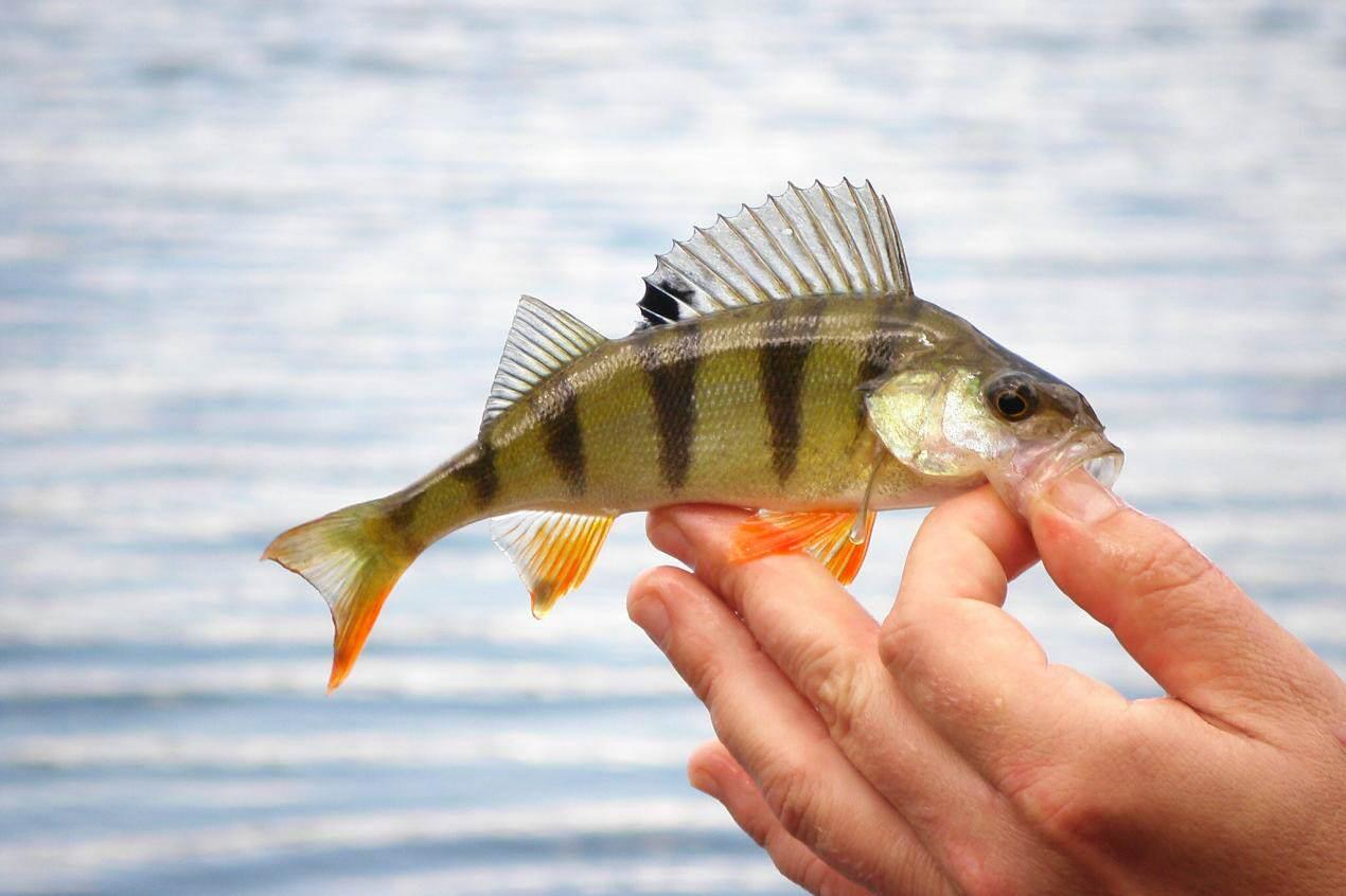 Set pescuit la rapitor buc - Mărgele în biban