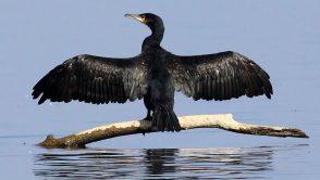 Derogari privind protectia cormoranilor si cresterea finantarii pentru acvacultura – prioritati MADR