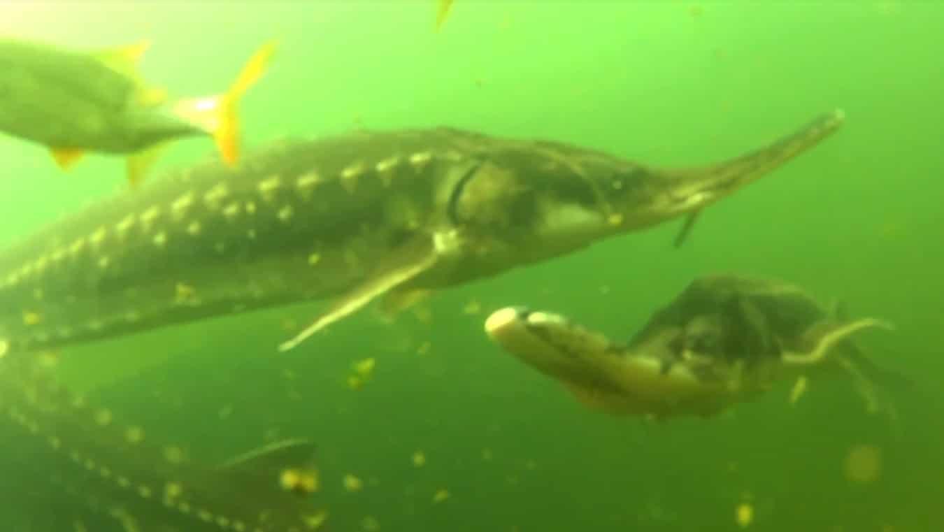 Reglementare noua privind pescuitul la sturion pe Dunare si Marea Neagra